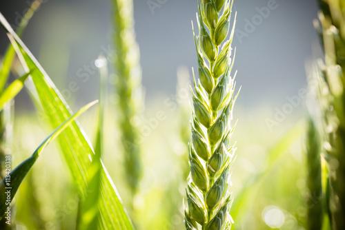 Getreide 30 - Ähre (Nahaufnahme)