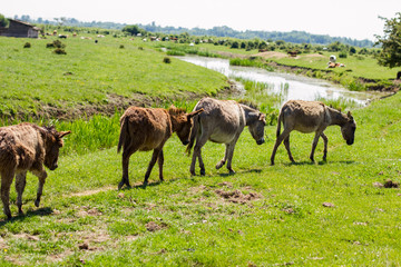Naklejka na ściany i meble  donkeys grazing springtime
