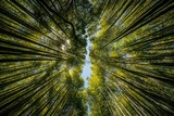 Fototapeta Bamboo - Abstract photos of the bamboo forest in Kyoto, Japan