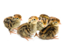 Chickens Of Quail, Isolated On White