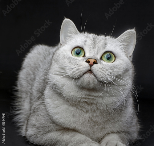 Garden Poster Hipster Animals Gray British Shorthair cat is watching up with interest on black background.
