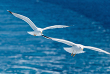 Pair Of Seagulls Flying Over The Sea
