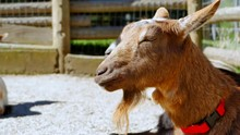 4K Bearded Brown Goat Close Up...