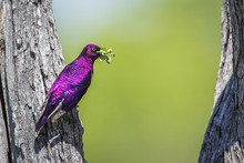 Violet-backed Starling In Krug...