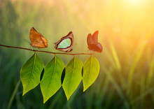 Three Butterfly On Green Leaf ...