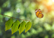 Monarch Butterfly And Green Le...