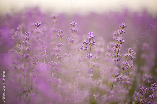 Fototapety, obrazy: Meadow of lavender. Nature composition. Selective focus