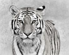Amur Tiger (Panthera Tigris Al...