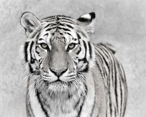 FototapetaAmur tiger (Panthera tigris altaica)