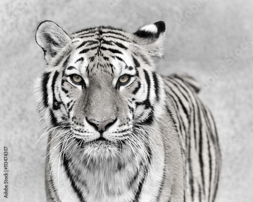 Photo sur Toile Tigre Amur tiger (Panthera tigris altaica)