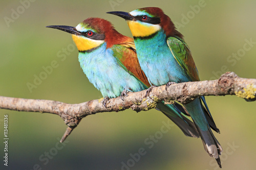 Photo European bee-eater sit together