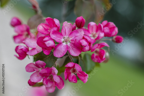 Fototapety, obrazy: Blossoming apple flowers in spring