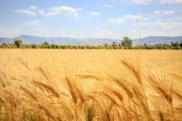 Obraz na Plexi ear of wheat field in summer