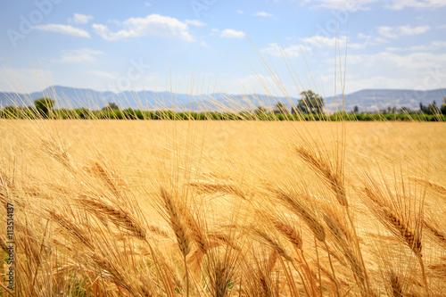 Foto auf Gartenposter Landschappen ear of wheat field in summer