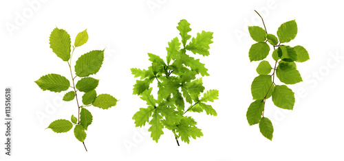 Fototapeta Green leaves isolated on white . obraz