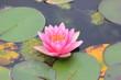 Blüte einer Seerose und Seerosenblätter auf einem Teich