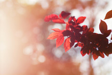 Beautiful Red Leaves On A Tree Branch In Golden Sunlight