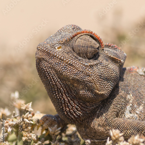 fototapeta na lodówkę Portrait of a Chameleon