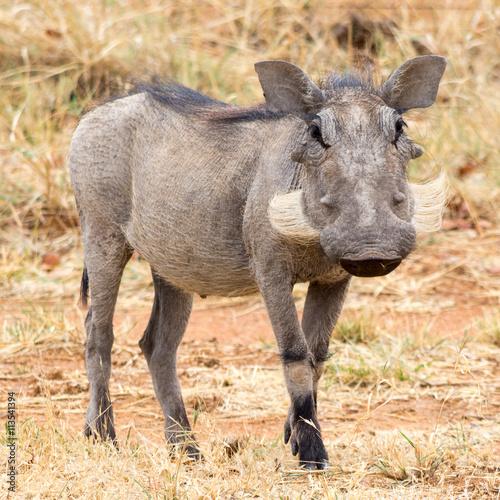 fototapeta na lodówkę Portrait of a Warthog