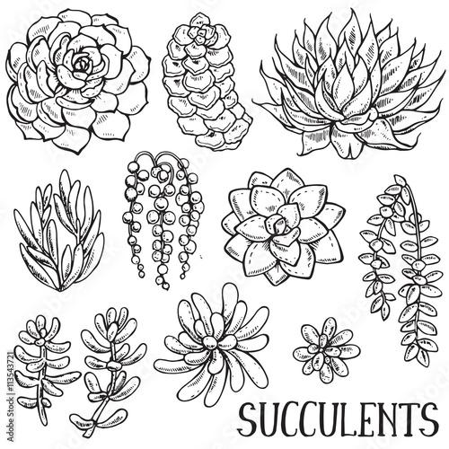 Fototapeta Hand drawn succulent plants vector set obraz