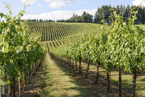 Papiers peints Vignoble Springtime in the Grape Fields of Western Oregon