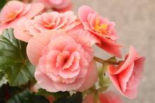 Beautiful Pink Flowers - Begonia