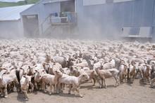 Sheep On Farm, New Zealand