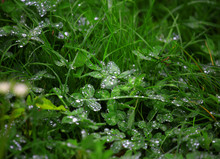 Vibrant Green Bushes After The Rain Covered With Water Beads.