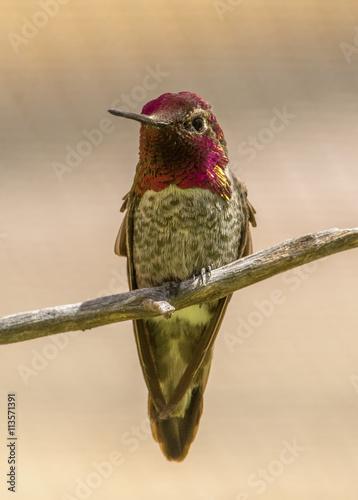 fototapeta na lodówkę Anna's Hummingbird