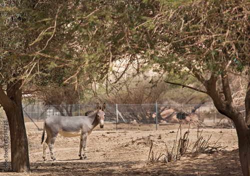 Photo sur Toile Chasse wild ass in the desert