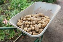 Harvesting The Homegrown Potatoes In The Wheelbarrow.