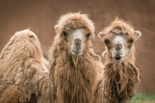 Pair Of Bactrian Camels