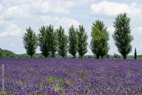 Foto op Canvas Lavendel ラベンダー畑