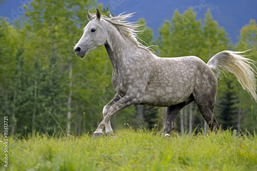 obraz dibond Beautiful Gray Arabian Gelding galloping in meadow