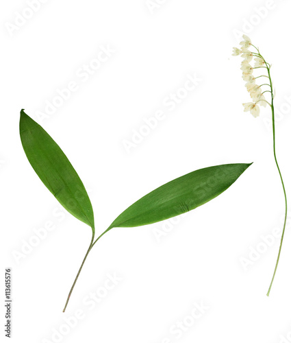 Poster Muguet de mai Pressed and dried flower lily of the valley