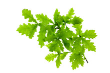 Green Oak Leaves Isolated On W...