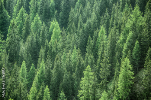 Obraz Healthy green trees in a forest of old spruce, fir and pine - fototapety do salonu