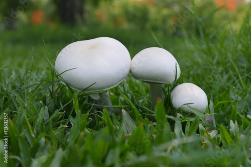 White mushroom in grass lawn, Central of Thailand Wallpaper Mural