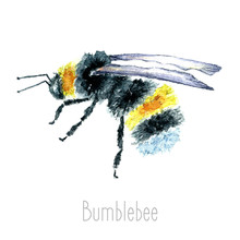 Watercolor Bumblebees Isolated.