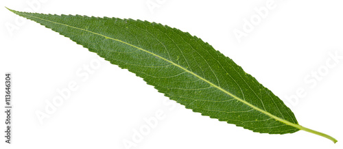 green leaf of crack willow isolated