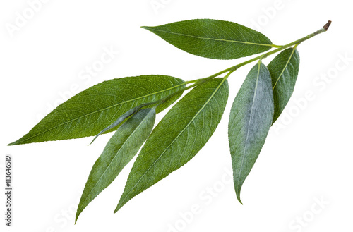 twig with green leaves of willow isolated