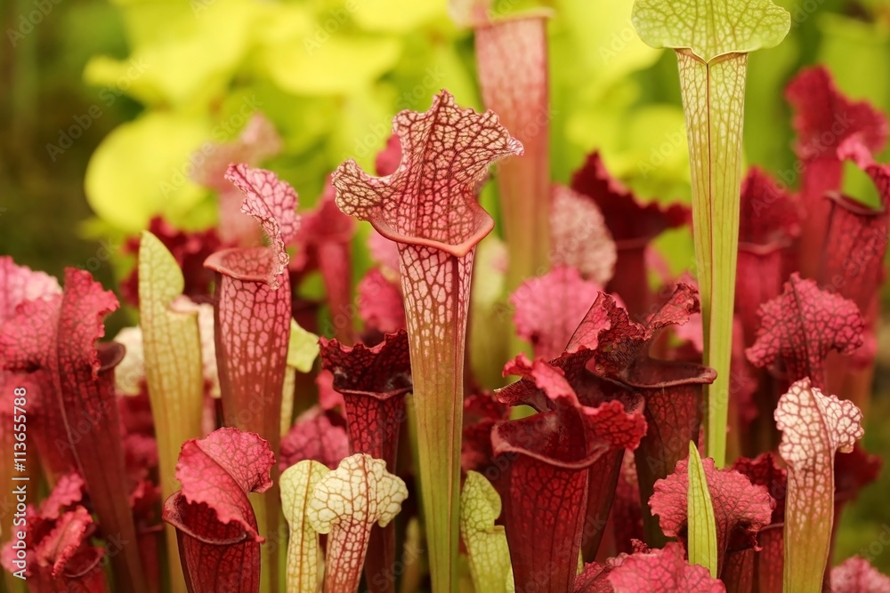 Fototapety, obrazy: Beautiful carnivorous red and green pitcher plants