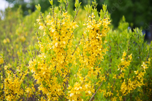 Fotografia, Obraz close up of forsythia bush with yellow flowers
