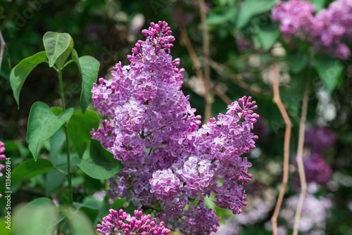 Close Up Beautiful Lilac Flowers With The Leaves Beauty World