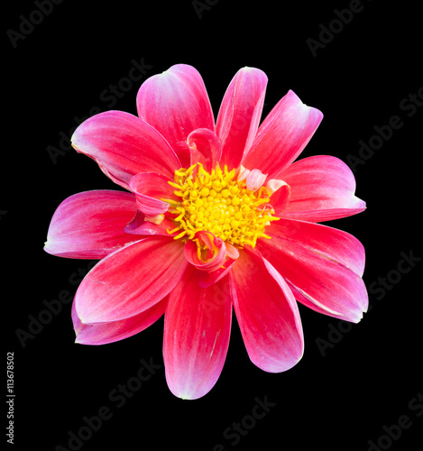 Fotografie, Obraz  mona lisa flower pink flower spring flower  on back background