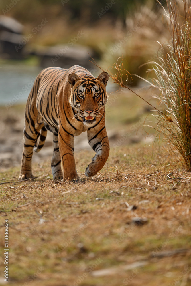 Majestic royal bengal tiger male walks towards photographer/Majestic royal bengal tiger male walks towards photographer