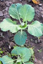 Young Plant Of Green Cabbage