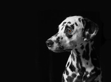 Portrait Of A Dalmatian Dog On...