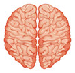 Top view of human brain