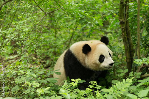 Valokuva  The giant panda in forest